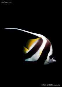 Longfin-Bannerfish (Heniochus acuminatus). Canon G10. by Bea &amp; Stef Primatesta 